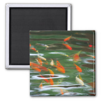 High angle view of koi crap fish in a pond square magnet