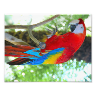 High definition photography Scarlet Macaw Photographic Print