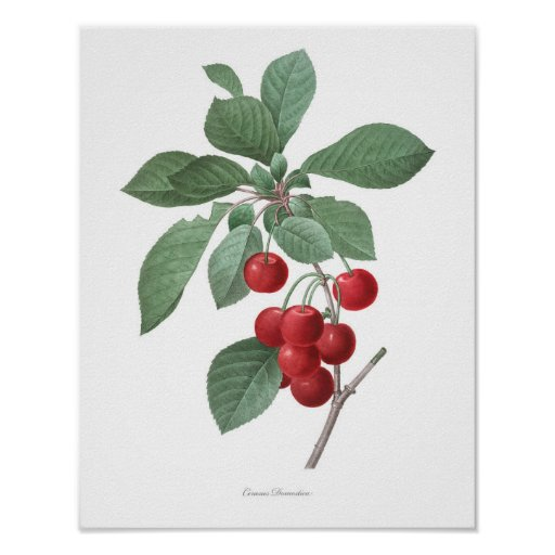HIGHEST QUALITY Botanical print of Cherries
