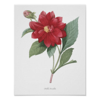 HIGHEST QUALITY Botanical print of Dahlia