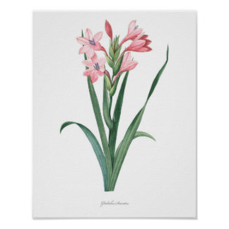 HIGHEST QUALITY Botanical print of Gladiolus