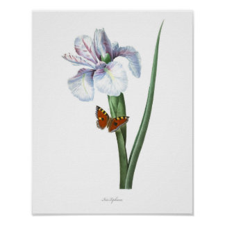 HIGHEST QUALITY Botanical print of Spanish Iris