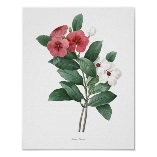 HIGHEST QUALITY Botanical print of Teresita