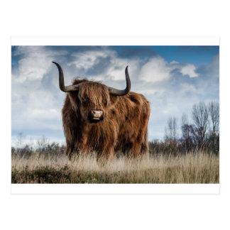 Highland Bull Postcard