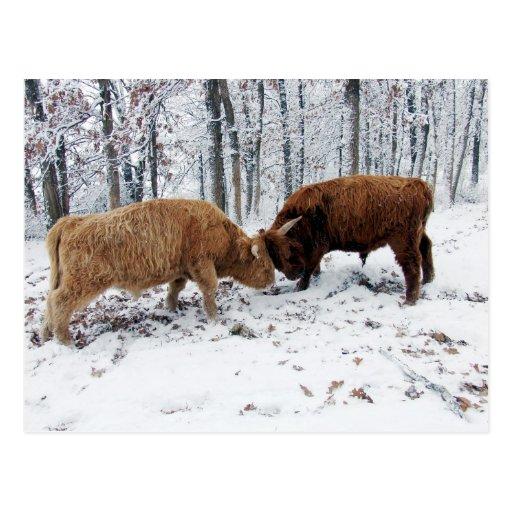 Highland Bulls Postcard