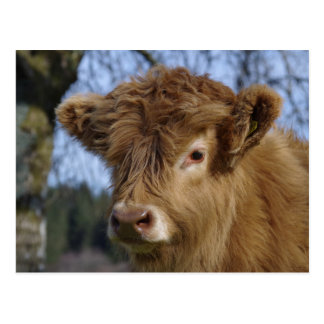 Highland Calf Postcard
