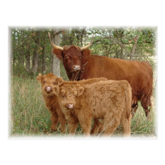 Highland calves postcard