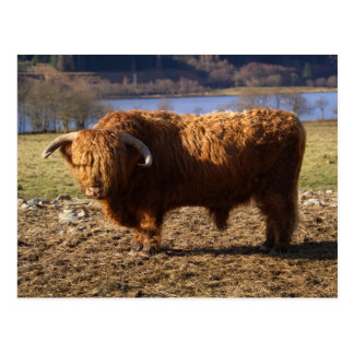 Highland Cattle Bull, Scotland Postcard