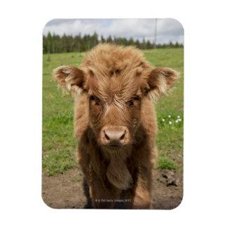 Highland Cattle calf, near Dufftown, Magnet