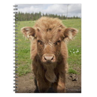 Highland Cattle calf, near Dufftown, Notebooks