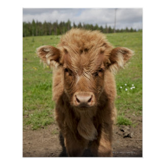 Highland Cattle calf, near Dufftown, Poster
