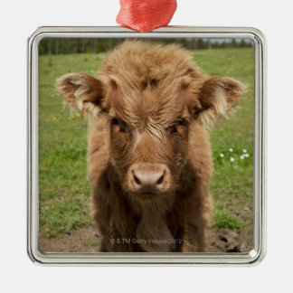 Highland Cattle calf, near Dufftown, Silver-Colored Square Decoration