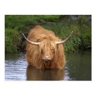 Highland Cattle Postcard