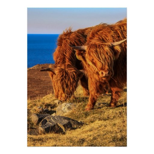Highland Cattle Poster/Print Poster