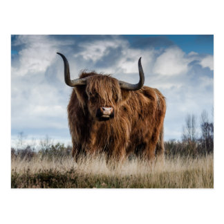 Highland Cow in a Pasture Postcard