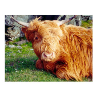 Highland Cow Photo Postcard