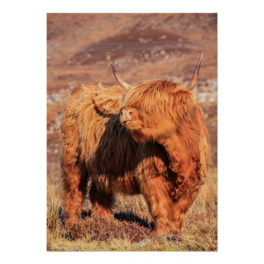 Highland Cow Poster/Print Poster