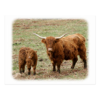 Highland Cow with calf 9Y316D-048 Postcard