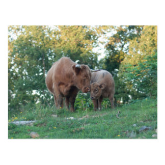 Highland cow with calf postcard