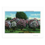 Highland Park Lilacs in Bloom Postcard