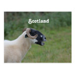 Highland Sheep Post Cards