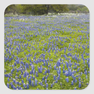 Hill Country, Texas, Bluebonnets and Oak tree Square Sticker