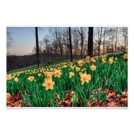 Hillside of daffodils at dawn photo print