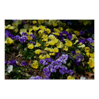 Hillside of Purple and Yellow Pansies