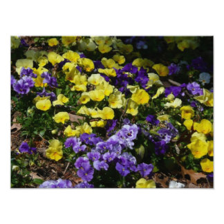 Hillside of Purple and Yellow Pansies Photo