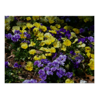 Hillside of Purple and Yellow Pansies Poster