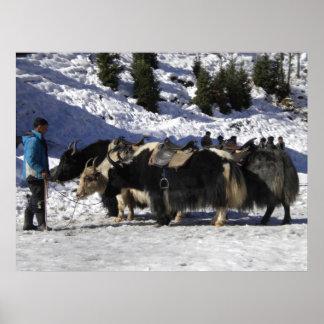 Himalayan snow yak poster