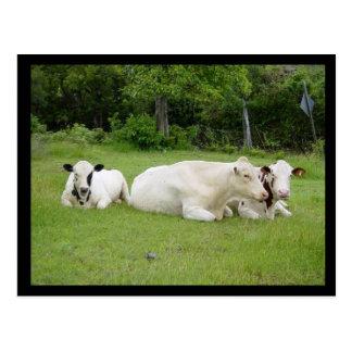 Hindu Cows Postcard