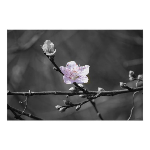 Hint of Pink Cherry Blossom Poster