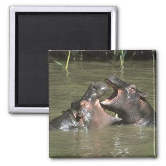 Hippopotamus, (H. amphibius), mother & young Square Magnet