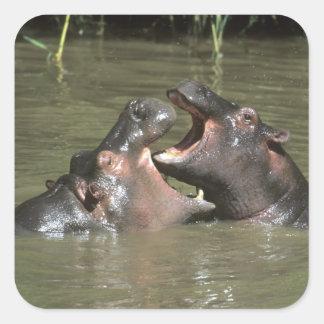 Hippopotamus, (H. amphibius), mother & young Square Sticker