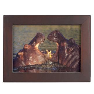 Hippopotamus (Hippopotamus Amphibius) Bulls Keepsake Box