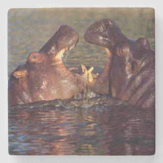 Hippopotamus (Hippopotamus Amphibius) Bulls Stone Coaster