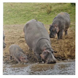 Hippopotamus, Hippopotamus amphibius, Serengeti Large Square Tile