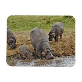 Hippopotamus, Hippopotamus amphibius, Serengeti Rectangular Photo Magnet