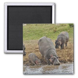 Hippopotamus, Hippopotamus amphibius, Serengeti Square Magnet