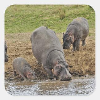 Hippopotamus, Hippopotamus amphibius, Serengeti Square Sticker