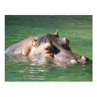 Hippopotamus Swimming On The Surface Postcard