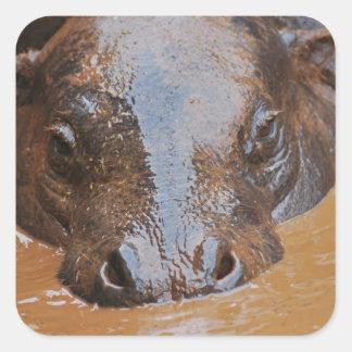 Hippopotamus swimming square sticker