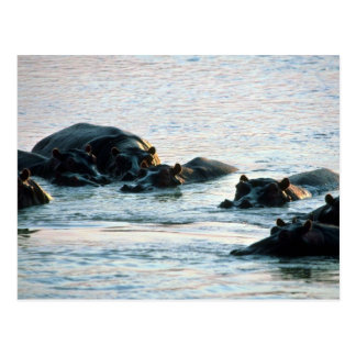 Hippos - Pod Relaxed In River At Twilight Postcard