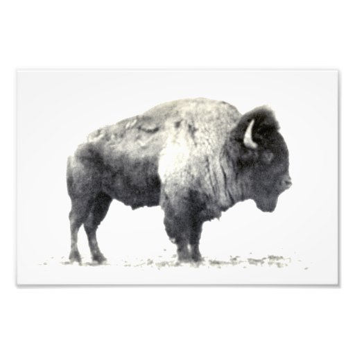 Historical Photograph of American Bison