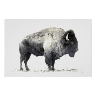 Historical Photograph of American Bison Poster
