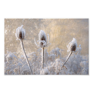 Hoarfrost Teasels Winter Scenic Nature  Paperprint Photograph