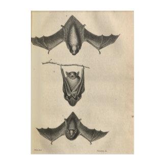 Hoary Bat Acrylic Print