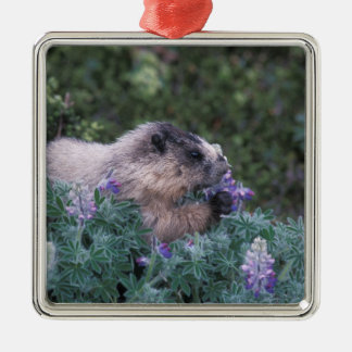 Hoary marmot feeding on silky lupine, Exit Christmas Ornament