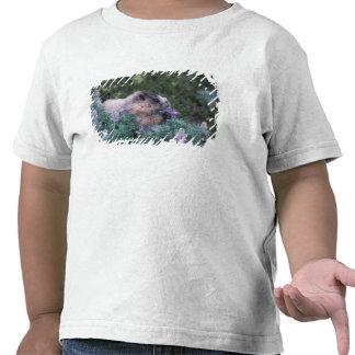 Hoary marmot feeding on silky lupine, Exit T-shirts